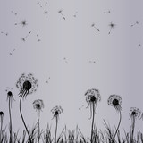 Dandelion wind in grass