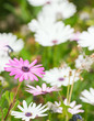 Purple daisy among field of white daisies
