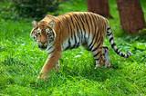 Fototapety Tigers