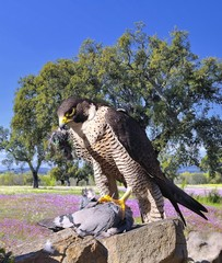 Halcón peregrino cazando.