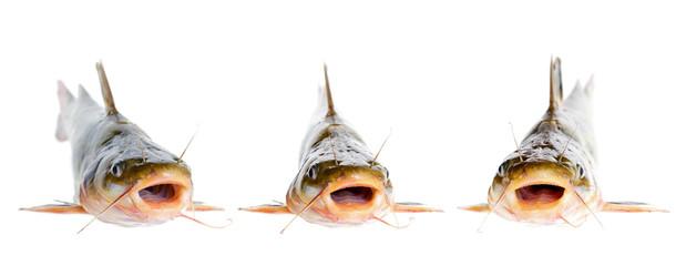 Catfishs