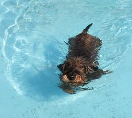 Bassotto in piscina