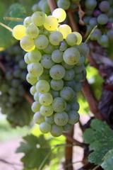 uva da vino