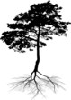 black pine tree with root