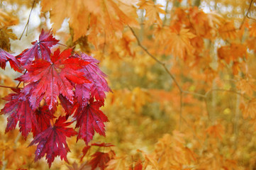 Maple leaves in autumn.