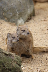 Yellow Mongoose Mating