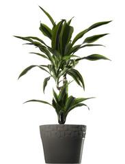 plant dracena - dracena in vaso