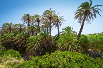 Cretan Date palm trees with bananas on Crete, Greece