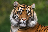 Portrait of a bengal tiger - 45004101