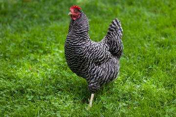 Barred Rock Hen in Grass