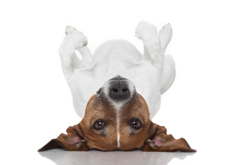 dog  laying upside down