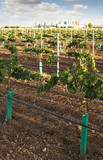 Young vineyards and wine fabric