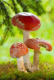 Amanita poisonous mushrooms in the forest