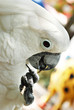 White Cockatoo Parrot Playing with a Stick