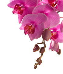 pink orchid isolated on white.