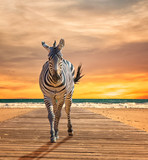 Zebra Walking On Wooden Plank