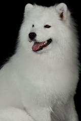 Samoyed dog  on black background.