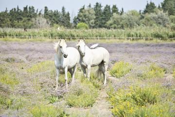 Camargue horses ((Equus ferus caballus), les Saintes Maries de l
