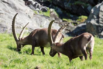stambecchi maschi (capra ibex)