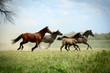 Fototapeten,pferd,pferd,fohlen,galopp