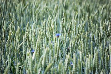 Field of ripening rye with cornflowers