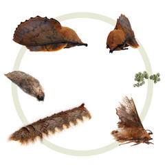The metamorphosis of the Lappet Moth