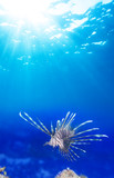 one lionfish in blue
