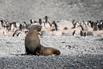 Fur seal on the beach near penguins, Antarctica