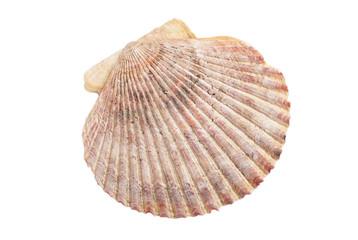 Muschelschale