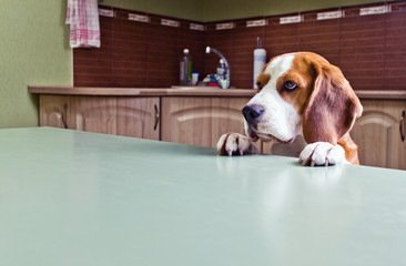 Dog in expectation of meal