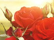 Red Roses in Sunlight