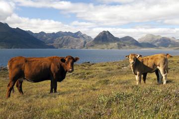Vaches sur l'île de Skye