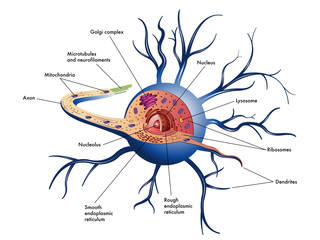 cellula nervosa