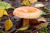 Woolly milkcap (lactarius torminosus) mushroom poster