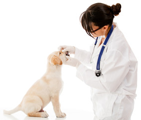 Vet checking a puppy dog