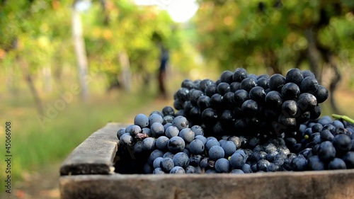 agriculture, harvesting grapes