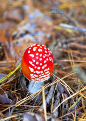 poison mushroom in coniferous pine forest.