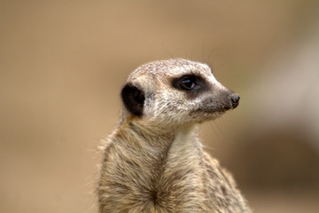 suricato o suricata suricatta