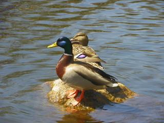 Mallard Duck Couple on the Rocks