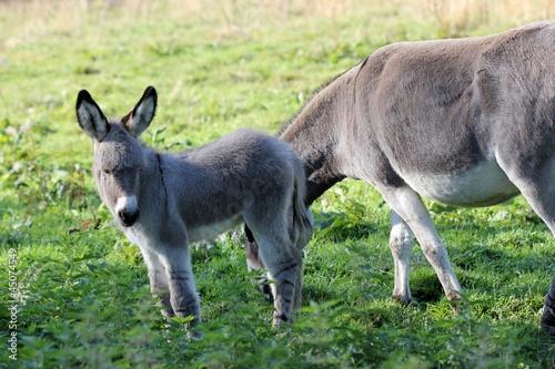 In de dag Ezel Eselfohlen mit seiner Mutter