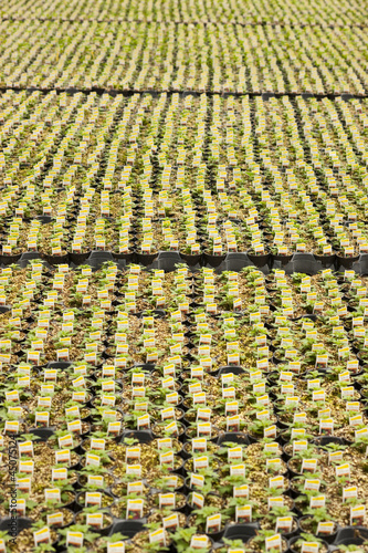 Rows of plants in nursery