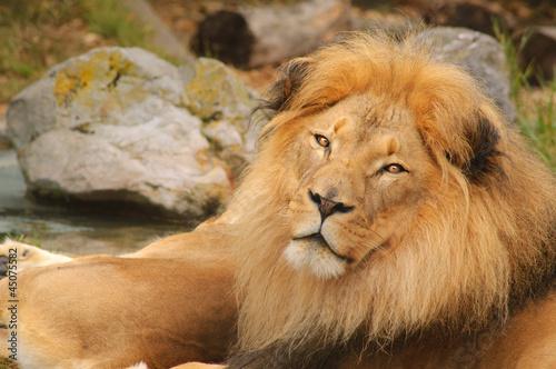 Fotobehang Lion resting