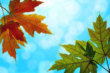 Maple Leaves Mixed Fall Colors with Blue Sky