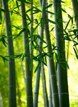Bamboo fond de la forêt. Shallow DOF