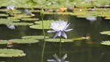 Purple, blue lotus. In ponds with lotus leaf green.