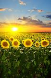 Fototapety sunflowers
