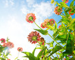Flowers Over Blue Sky. Zinnia flower. Autumn Flowers