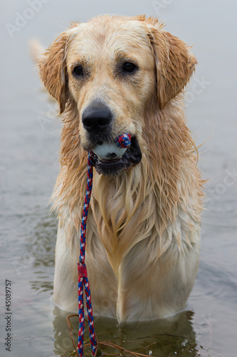 Golden retriever gioca con la palla in acqua
