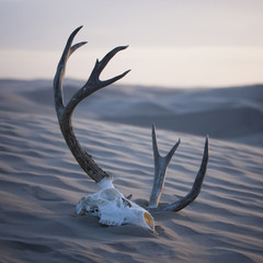 """USA, Utah, Little Sahara, animal skull on desert"""
