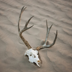 """USA, Utah, Little Sahara, animal skull on desert, elevated view"""